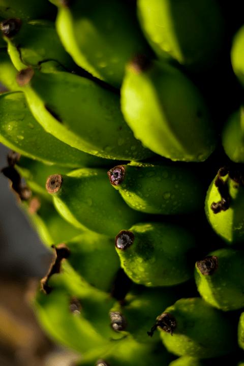green bananas growing on a tree