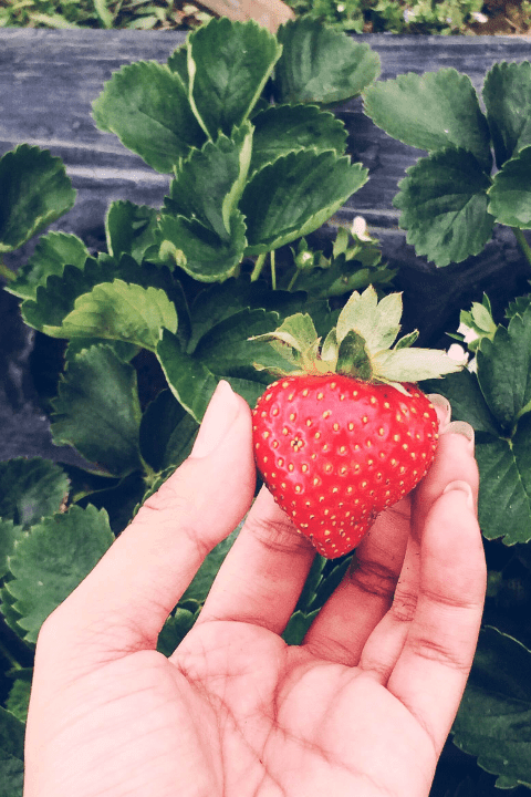 A hand picking a strawberry off a strawberry bush